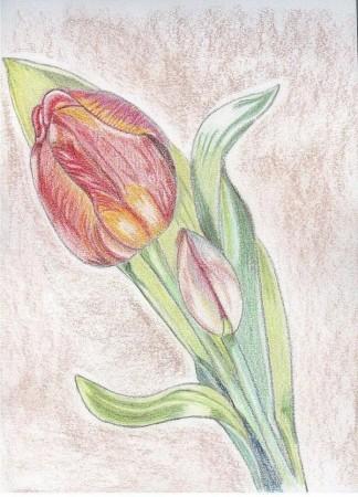 medium_la_tulipe.jpg