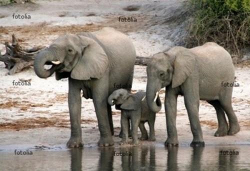 famille elephants1.jpg