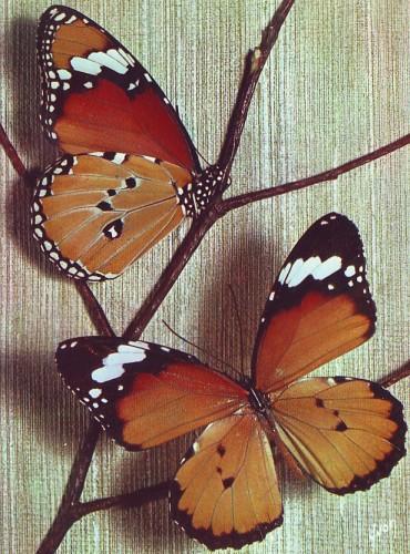 Papillons_exotiques_danais_chrysippus.jpg